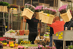 © Licensed to London News Pictures. 15/03/2012. London, UK. Porters sort flowers. The Mothering Sunday sales rush is on for flower growers, suppliers, florists and retailers amongst the Flowers at the New Covent Garden Flower Market on March 15th 2012 in London, England. New Covent Garden Flower Market is London's premier wholesale market stocking the widest range of flowers, plants and foliage in the UK. The run up to Mothers' Day is crucial in the flower selling calendar as Mothers' Day sales are condensed into about four days making the market very busy. Traditionally, Mothering Sunday was a day when children, mainly daughters, who had gone to work as domestic servants, were given a day off to visit their mother and family. Today, Mother's Day is a time when children give flowers and cards to their mothers, and generally pamper them..  Photo credit : Stephen SImpson/LNP