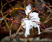 Snow on a Japanese Maple tree after a late winter snowstorm. Image taken with a Fuji X-T2 camera and 100-400 mm lens (ISO 200, 400 mm, f/5.6, 1/1000 sec).