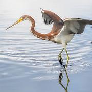 Tricolored heron, Egretta tricolor, performs animated dance while fishing at Merrritt Island NWR on Florida's Atlantic coast.