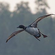 Common loon (Gavia immer) in flight. Minnesota