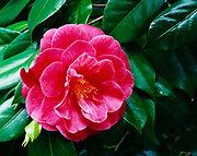 Beautiful bloom of a Camellia in redwood forest garden in the Santa Cruz Mountains, California.