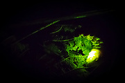 Glow worm female (Lampyris noctiluca) displaying against leaf litter. Box Hill, Surrey, UK.