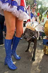 31 January 2016. New Orleans, Louisiana.<br /> Mardi Gras Dog Parade. Kind of Barkus, Alex the Weimarana with Diane Lundeen's legs. The Mystic Krewe of Barkus winds its way around the French Quarter with dogs and their owners dressed up for this year's theme, 'From the Doghouse to the Whitehouse.' <br /> Photo©; Charlie Varley/varleypix.com