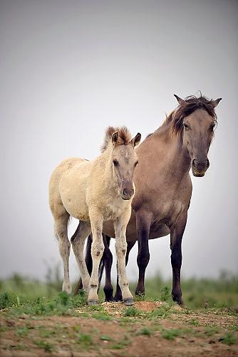 Nederland, Ooij, 3-6-2017Een kudde Konikpaarden graast in de Ooijpolder, Millingerwaard. De Konik leeft in kuddeverband. De wilde paarden zijn uitgezet in natuurgebieden door heel Nederland.Foto: Flip Franssen