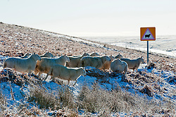 © Licensed to London News Pictures. 18/01/2015. Sheep wait for the farmer to bring food on the high moorland of the Mynydd Epynt. Mid Wales woke to sub zero temperatures and a beautiful blue sky. Mynydd Epynt, Powys , Wales, UK. Photo credit: Graham M. Lawrence/LNP