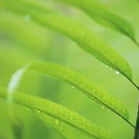 Fiji Islands, botanical, fern leaf after rain shower