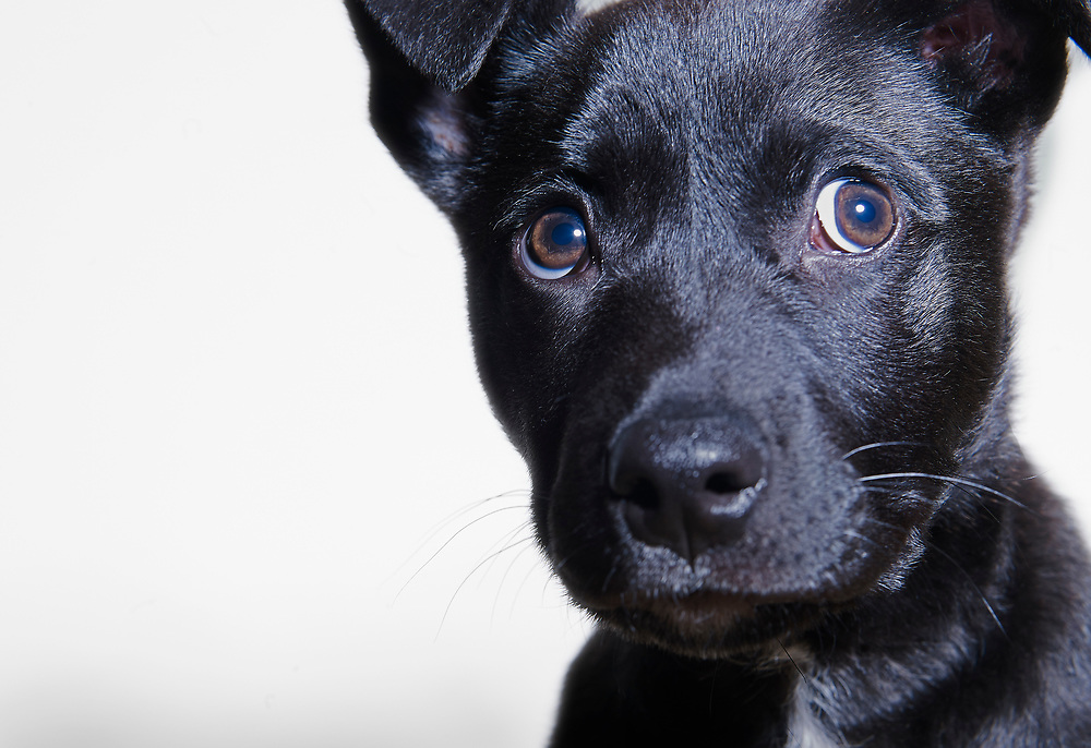 Small black mixed breed puppy expressively looking off camera