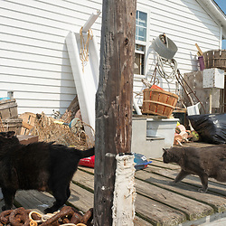 "August 4, 2017 - Tangier Island, VA - Tangier Island Mayor James ""Ooker"" Eskridge's crab shack hosts four cats whom he rescued off a floating tree branch as kittens.  He named all but one after prominent Republican government officials.. Pictured here are (Former Secretary of State) Condoleeza Rice and (U.S. Supreme Court Justice) Sam Alito. Not pictured are (U.S. Supreme Court Chief Justice) John Roberts and (conservative political commentator) Ann Coulter. <br /> <br /> Photo by Susana Raab/Institute"