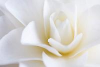 White Camellia Blossom
