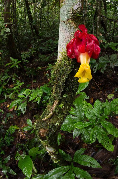 Cauliflorous Flower (Drymonia GESNERIACEAE)<br /> Tiputini Biodiversity Station, Adjacent to  Yasuni National Park, Amazon Rainforest<br /> ECUADOR. South America<br /> HABITAT & RANGE:
