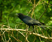 American Crow. Image taken with a Nikon N1V3 camera and 70-300 mm VR lens.