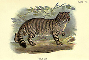 Wild Cat (Felis catus) From the book ' A hand-book to the British mammalia ' by  Richard Lydekker, 1849-1915  Published in London, by Edward Lloyd in 1896
