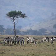 Burchell's Zebra, (Equus burchelli) Herd. Kenya. Africa.