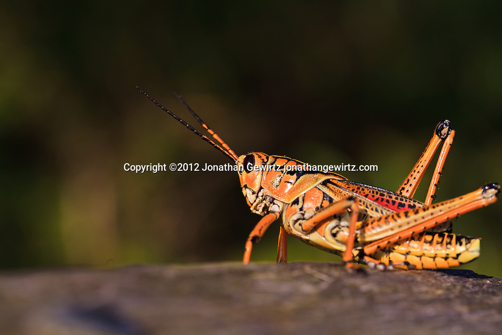 A bright orange/yellow Lubber Grasshopper (Romalea guttata) in the Florida Everglades. WATERMARKS WILL NOT APPEAR ON PRINTS OR LICENSED IMAGES.