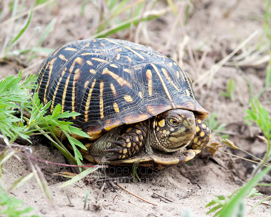The Ornate Box turtle has been on Illinois's threatened species list since 2009. This box turtle is very fancy, or 'ornate,' with bright yellow stripes radiating across its shell. The turtle favors a prairie habitat that has open grasslands for hunting insects, spiders, worms and vegetation and also likes sandier soils suitable for digging burrows. This turtle species is unique, for it has a hinged plastron (the shell on the turtle's underside), which allows the turtle to completely pull its head, tail and legs inside the shell for protection.