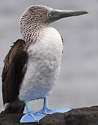 A blue-footed booby (Sula nebouxii) standing on a rock.  Puerto Baquerizo Moreno, San Cristobal, Galapagos, Ecuador.