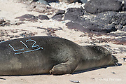 Hawaiian monk seal, Monachus schauinslandi, Critically Endangered endemic species, has just had an identification mark applied to its fur by a NOAA researcher, using a commercial hair bleaching product; west end of Molokai, Hawaii, photo taken under NOAA permit 10137-6