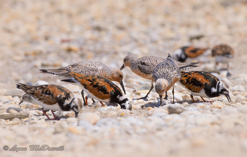 Red Knot and Ruddy Turnstone together during spring migration and the ancient connection of shorebirds feeding at the shoreline on Horseshoe Crab eggs.<br /> Delaware Bayshore, Ted Harvey Wildlife Area