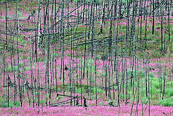 Fireweed grows in a wildfire burn, Central Yukon