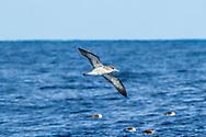 Scopoli's shearwater- Puffin cendré (Calonectris borealis), Birds of Azores Archipelago.