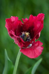 Tulipa 'Chicago'