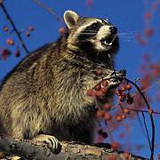 Raccoon, (Procyon lotor) Feeding on crab apples in tree. Early winter.  Captive Animal.