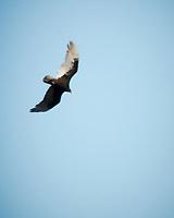 Turkey Vulture. Image taken with a Nikon N1V3 camera and 70-300 mm VR lens.