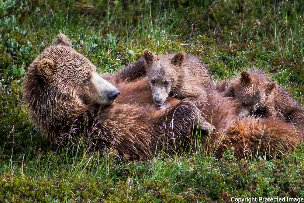 A grizzly bear nurses her spring cubs at Denali National Park in Alaska. The sow sat down and rolled on her back and the cubs came running. A spring cub is born during the previous hibernation.