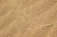 Tracks of Colorado Desert fringe-toed lizard, Uma notata.  Algodones dunes, Imperial County, California
