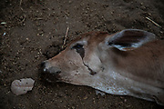 Dead calves killed by the wildfires that devastated the São Francisco farm, in the rural area of Santo Antonio Leverger, in the Pantanal of Mato Grosso. More than 250 cattle died because of the fire and 4,300 hectares of the farm were destroyed. Cattle raising is a traditional activity in the Pantanal region and is part of the local culture.