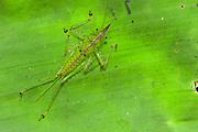 Spine-headed Katydid Nymph (Copiphora gracillis?)<br /> Yasuni National Park, Amazon Rainforest<br /> ECUADOR. South America