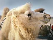 A White camel.<br /> <br /> A participant to a camel race festival in Bulgan. Road trip with a Jeep in the Gobi region.<br /> <br /> Travels in the Gobi desert region.