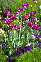 Tulipa 'Purple Tower' with Viola 'Martin' and lavender