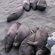Northern Elephant Seal, (Mirounga angustirostris)  Weaners resting on beach. California.