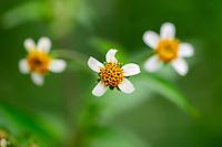 Three white Flower, Wuliangshan Nature Reserve, Mount Wuliang Nature Reserve in Jingdong county, Yunnan, China