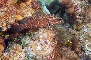Black Grouper, Mycteroperca bonaci<br /> Poey, 1860, Grand Cayman
