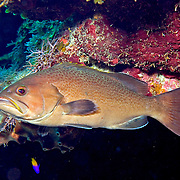 Yellowmouth Grouper inhabit reefs in Tropical West Atlantic; picture taken Roatan, Honduras.