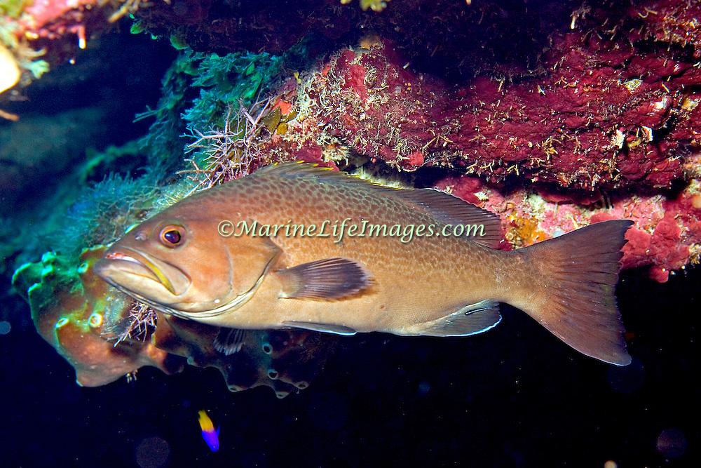Yellowmouth Grouper inhabit reefs in Tropical West Atlantic; picture taken Roatan, Honduras.