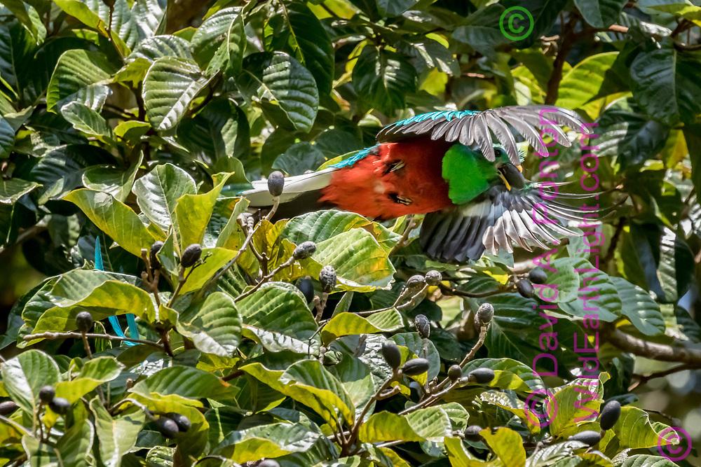 Quetzal flies from aguacatillo tree with wild avocado in its beak, © David A. Ponton
