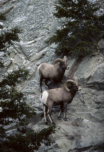 Bighorn Sheep (Ovis canadensis). Two rams on a rocky slope during fall rut season in Wyoming.