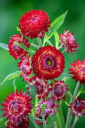 Xerochrysum bracteatum 'Dragon Fire' syn. Helichrysum or 'Red Dragon'  or a variant of Helichrysum bracteatum 'Scarlet'?