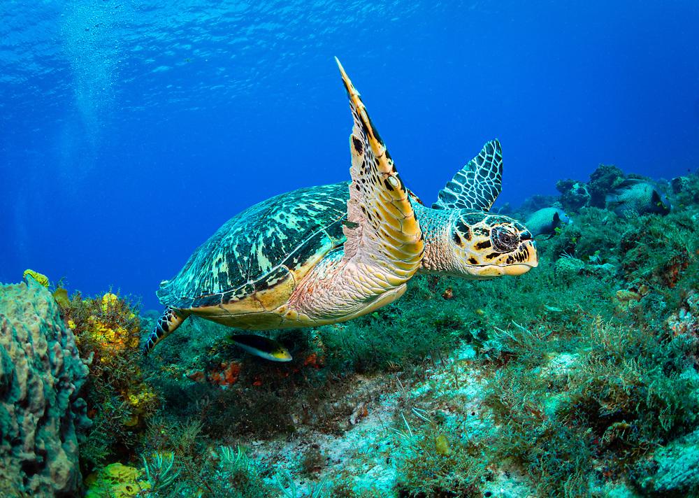 Hawksbill Turtle  in Cozumel, Mexico