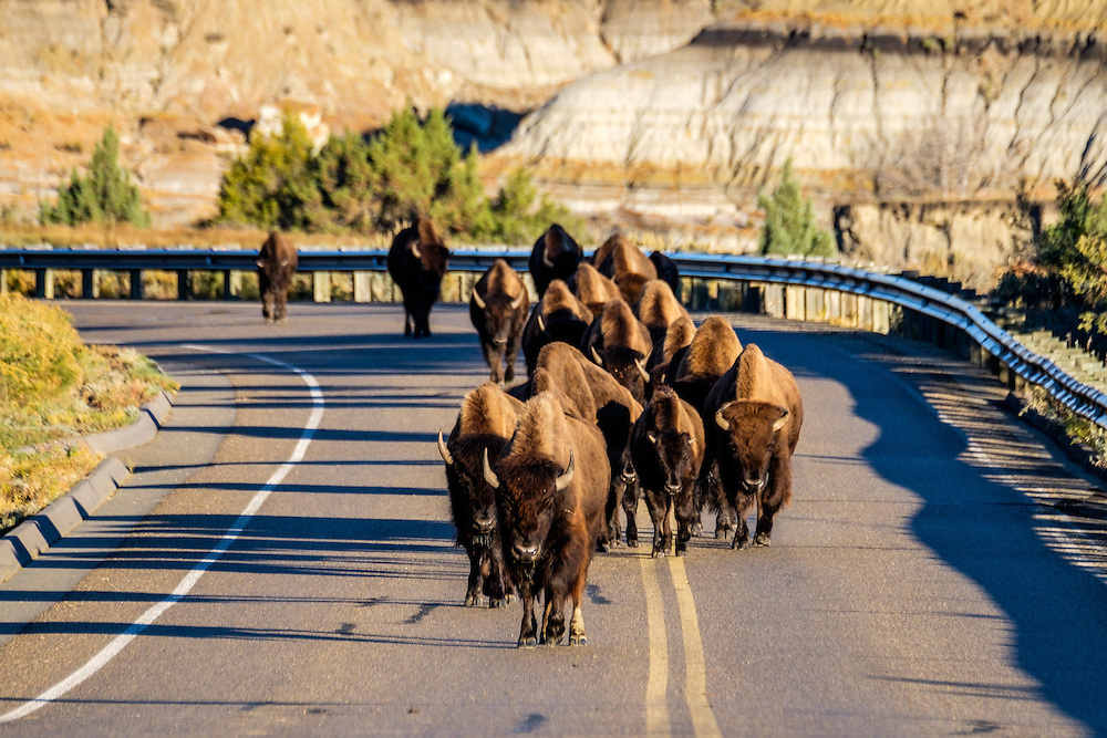 When the bison take to the road, there is nothing to do but wait (and take photos).