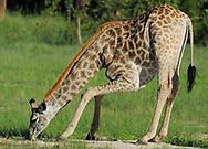 Giraffe, Giraffa camelopardalis, Hwange National Park, Zimbabwe