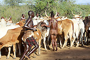 Africa, Ethiopia, Omo River Valley Hamer Tribe The Jumping of the Bulls ceremony. The initiate leaps onto a line of ten or more of his family's bulls and runs along their backs. The nude Initiate ready to climb on the bulls