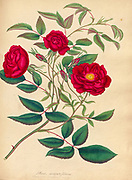 ROSA semperflorens, Ever-blomng Rose From the book Roses, or, A monograph of the genus Rosa : containing coloured figures of all the known species and beautiful varieties, drawn, engraved, described, and coloured, from living plants. by Andrews, Henry Charles, Published in London : printed by R. Taylor and Co. ; 1805.