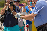 A volunteer carries a Kemp's Ridley sea turtle to the ocean past the media during the release of rehabilitated sea turtles May 14, 2015 in Isle of Palms, South Carolina. The turtles were rescued along the coast and rehabilitated by the sea turtle hospital at the South Carolina Aquarium in Charleston.