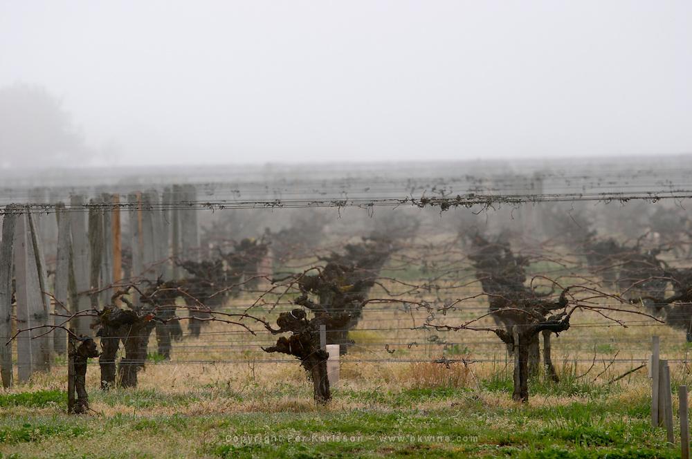 guyot double training vineyard fog ch gd barrail lamarzelle figeac saint emilion bordeaux france