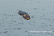 02929-00905 American Alligator (Alligator mississippiensis) Viera Wetlands Brevard County, FL
