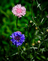 Cornflower, Bachelor Button. Image taken with a Fuji X-H1 camera and 80 mm f/2.8 macro lens